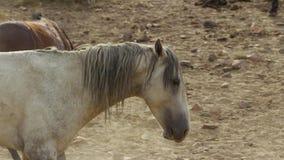 Um mustang selvagem da baía do rebanho do cavalo selvagem de Onaquai Estando estoicamente no deserto de Nevada, Estados Unidos imagem de stock