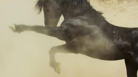 Um mustang selvagem da baía do rebanho do cavalo selvagem de Onaquai Estando estoicamente no deserto de Nevada, Estados Unidos fotografia de stock royalty free