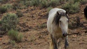 Um mustang selvagem da baía do rebanho do cavalo selvagem de Onaquai Estando estoicamente no deserto de Nevada, Estados Unidos imagem de stock royalty free
