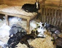 Um número carneiros e de cabras com os indivíduos novos que descansam no celeiro foto de stock