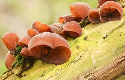 Um número de aurícula-judae do Auricularia dos fungos de orelha do ` s do judeu que cresce em uma árvore fotos de stock royalty free