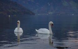 Um número de cisnes no porto imagens de stock royalty free