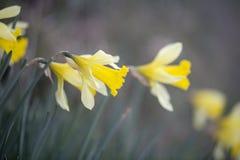 Um narciso amarelo Fotos de Stock