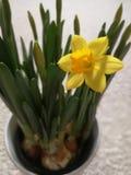 Um narciso amarelo no potenciômetro Foto de Stock Royalty Free
