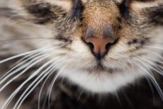 Um nariz de um gato de gato malhado macio Imagem de Stock Royalty Free
