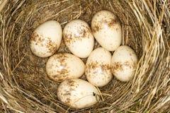 Um ninho com os 7 ovos do shrike suportado red- Imagem de Stock