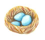 Um ninho com os ovos do azul de turquesa do pisco de peito vermelho selvagem do pássaro ilustração do vetor
