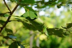 Um ninho da formiga em ramos das árvores fotografia de stock