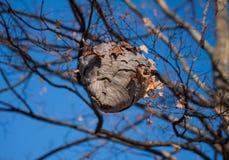 Um ninho da vespa contra Autumn Blue Sky mim Fotografia de Stock