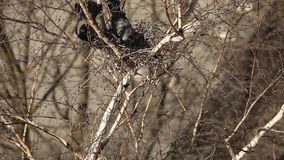 Um ninho de corvos dos pares na árvore filme