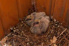 Um ninho de pássaros de bebê mergulhou casa selvagem do pássaro foto de stock royalty free
