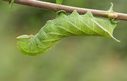 Um ocellata Eyed bonito de Caterpillar Smerinthus da Falcão-traça que alimenta no salgueiro sae imagem de stock