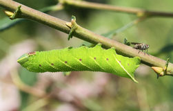 Um ocellata Eyed de Caterpillar Smerinthus da Falcão-traça que alimenta no salgueiro fotografia de stock
