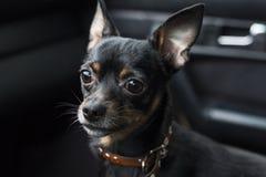 Um olhar triste do ` s do cão Pinscher do anão em um colar dentro de um carro em um fundo escuro fotografia de stock royalty free
