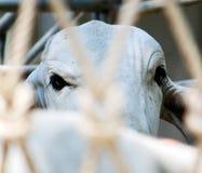 Um olho do ` s da vaca em um caminhão basculante Fotos de Stock Royalty Free