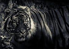 Um olho dos tigres Siberian Fotografia de Stock Royalty Free