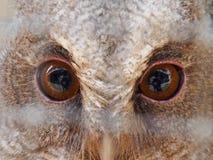 Um olho feroz da coruja imagens de stock royalty free
