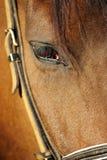 Um olho marrom do cavalo (ascendente próximo) em seu estábulo Foto de Stock Royalty Free