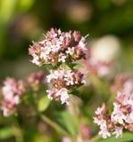 Um orégano bonito floresce em um jardim pronto para o chá Boa especiaria para a carne Jardim vibrante do verão Fotografia de Stock