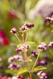 Um orégano bonito floresce em um jardim pronto para o chá Boa especiaria para a carne Jardim vibrante do verão Fotos de Stock Royalty Free