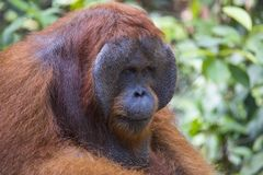 Um orangotango masculino na floresta de Kalimantan Imagem de Stock