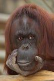 Um orangotango Pondering fotografia de stock royalty free