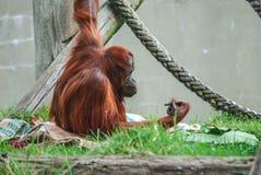 Um orangutang que senta-se apenas fotografia de stock royalty free