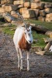 Um oryx horned Foto de Stock