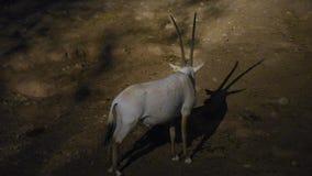 Um Oryx que árabe do oryx o leucoryx pôs em perigo criticamente o residente do golfo árabe está na areia quente do deserto na noi vídeos de arquivo