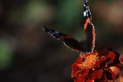 Um outono batterfly em uma flor do cravo-de-defunto fotografia de stock royalty free