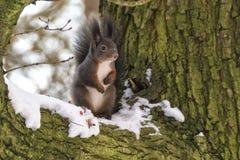Um outro tiro do esquilo fotografia de stock royalty free