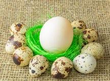Um ovo branco que encontra-se na luz verde do sisal do enchimento - cor verde cercada por ovos de codorniz em uma tabela de madei imagens de stock royalty free