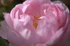Um pálido - estame da rosa do rosa Foto de Stock Royalty Free
