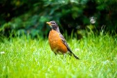 Um pássaro alaranjado bonito bonito Fotos de Stock Royalty Free