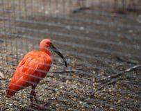 Um pássaro alaranjado vívido está andando Imagem de Stock
