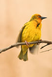 Um pássaro amarelo do tecelão do cabo, capensis do Ploceus Foto de Stock Royalty Free