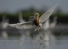 Um pássaro branco com os peixes em sua boca imagem de stock