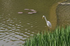 Um pássaro branco que está no lago imagens de stock