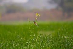 Um pássaro colorido na planta da mostarda em um campo de trigo Foto de Stock