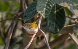 Um pássaro comum do alfaiate que senta-se no ramo de árvore fotos de stock