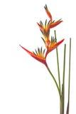 Um pássaro da flor de paraíso, isolado no branco Foto de Stock