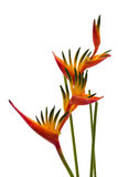 Um pássaro da flor de paraíso, isolado no branco Imagens de Stock