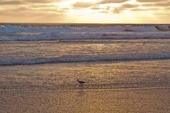Um pássaro da limosa na ressaca no por do sol em uma praia Fotografia de Stock Royalty Free