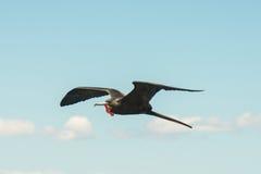 Um pássaro de fragata masculino em voo Fotografia de Stock