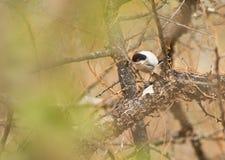 Um pássaro de Pringle´s Puffback Imagens de Stock Royalty Free