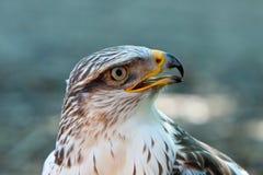 Um pássaro de rapina Imagens de Stock