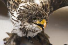 Um pássaro de rapina enchido Fotografia de Stock