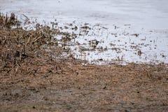 Um pássaro do maior Yellowlegs que procura o alimento em uma lagoa imagem de stock royalty free