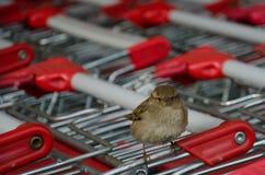 Um pássaro em um carro do mercado super Imagem de Stock Royalty Free