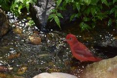 Um pássaro masculino vermelho do Tanager de verão que toma um banho Fotografia de Stock Royalty Free